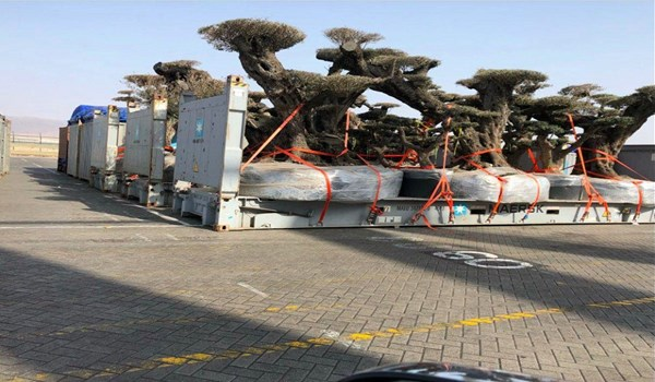 UAE steals old and rare trees from Socotra Island