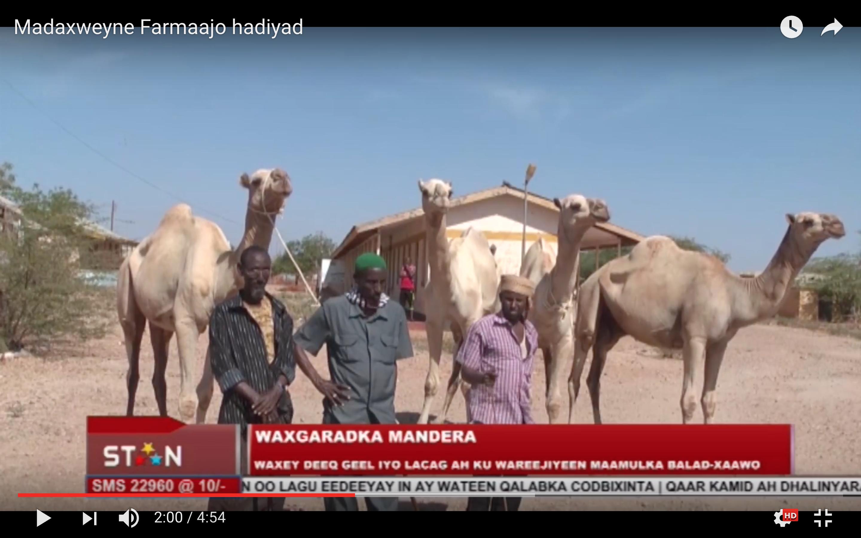 [Daawo] Somalida Kenya oo Geel iyo lacag ugu deeqday Madaxweyne Farmaajo